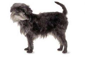 affenpinscher-hunderasse