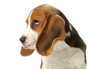 beagle-welpe-kopf