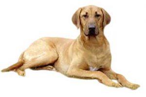 broholmer-hunderasse