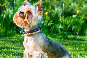yorkshire-terrier-hunderasse