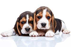 beagle-zwei-welpen
