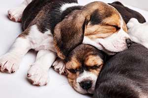 beagle-welpen-schlafen
