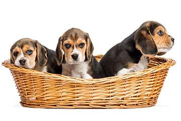 beagle-drei-welpen