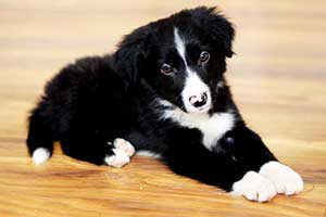 border-collie-welpen