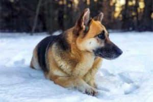 altdeutscher-schaeferhund