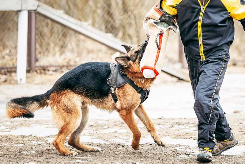 deutscher-schaeferhund-training