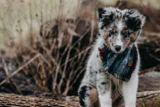 australian-shepherd-welpen3