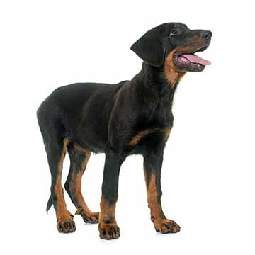 beauceron-junghund