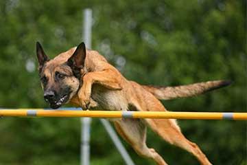 belgischer-schaeferhund-malinois-hundesport