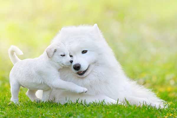 gesunde-weise-hunde-welpen