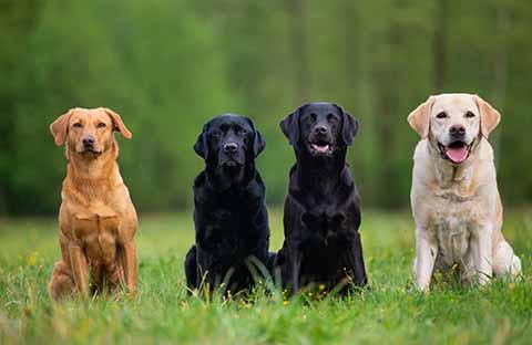 labrador-retriever-gold-gelb-braun-weiss