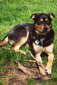 rottsky-hund