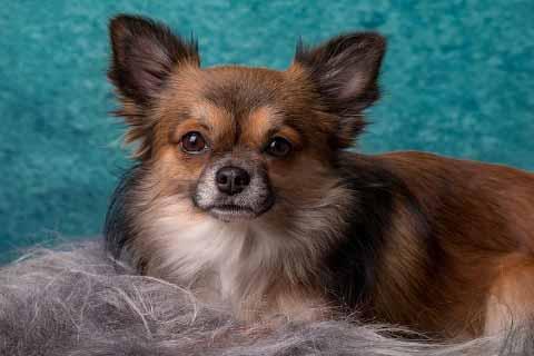 Chihuahua-langhaar-braun