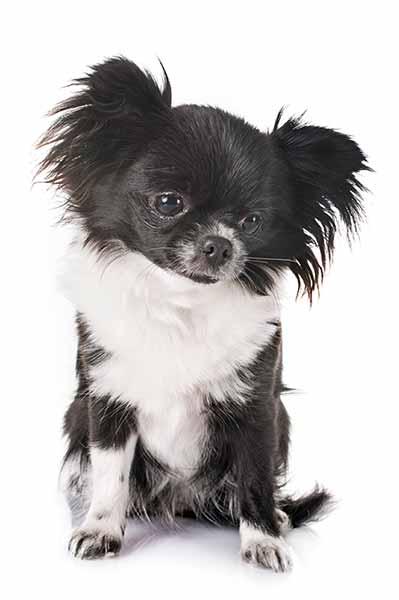 Chihuahua-langhaar-schwarz