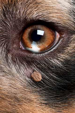 hunde-zecke-auge