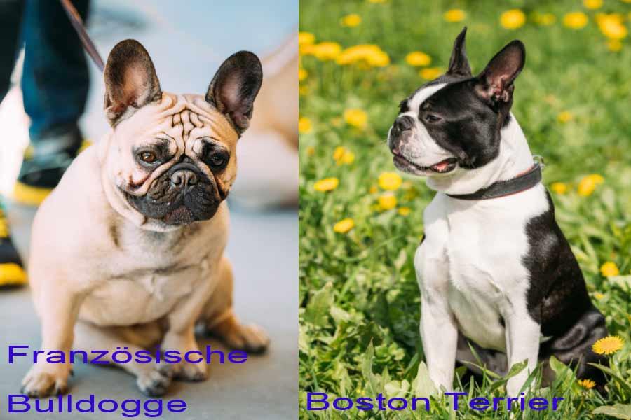 franzoesische-bulldogge-vergleich