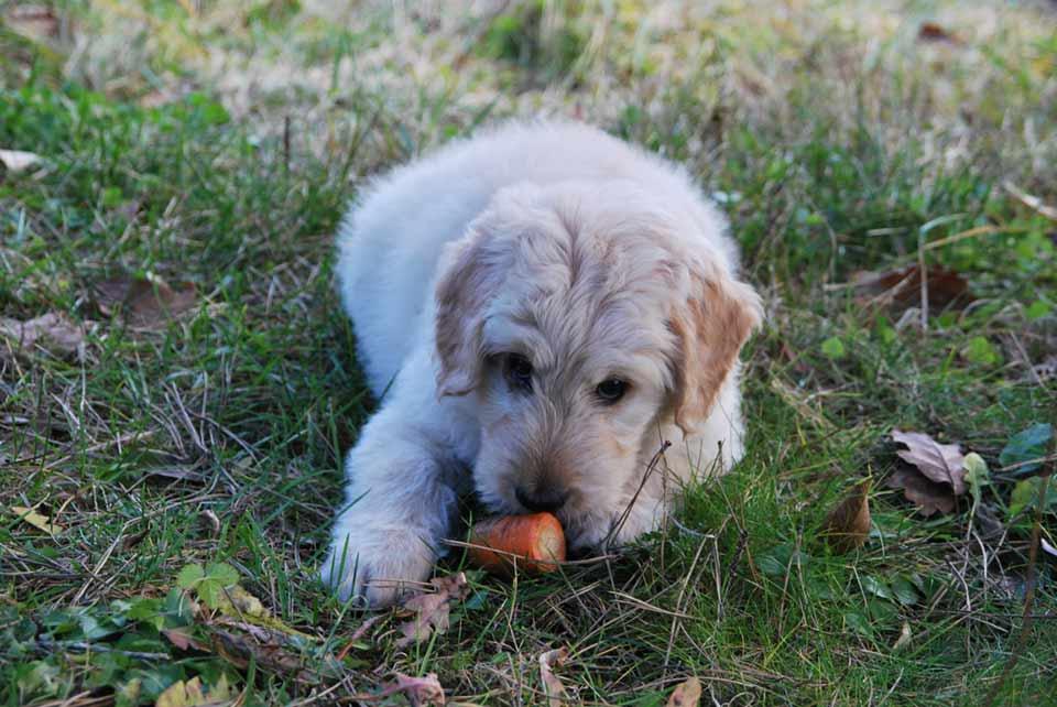 hunde-gemuese-roh
