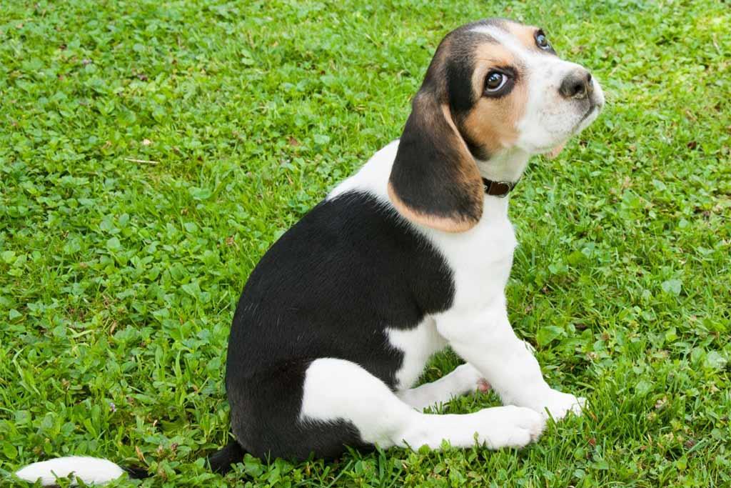 pocket-beagle-welpe