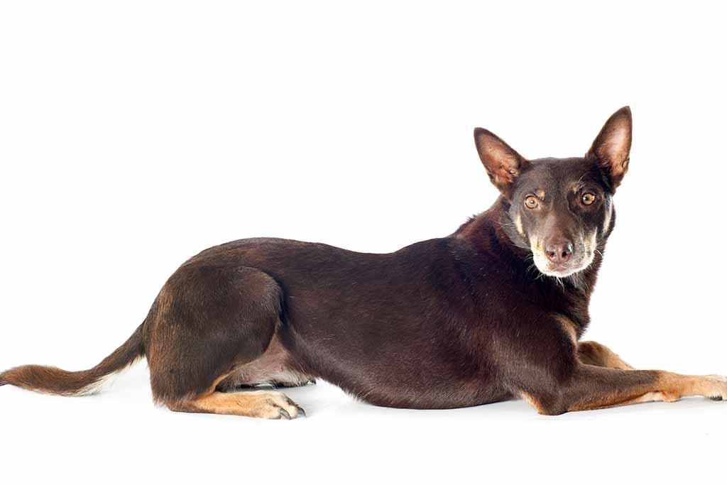 australian-cattle-dog