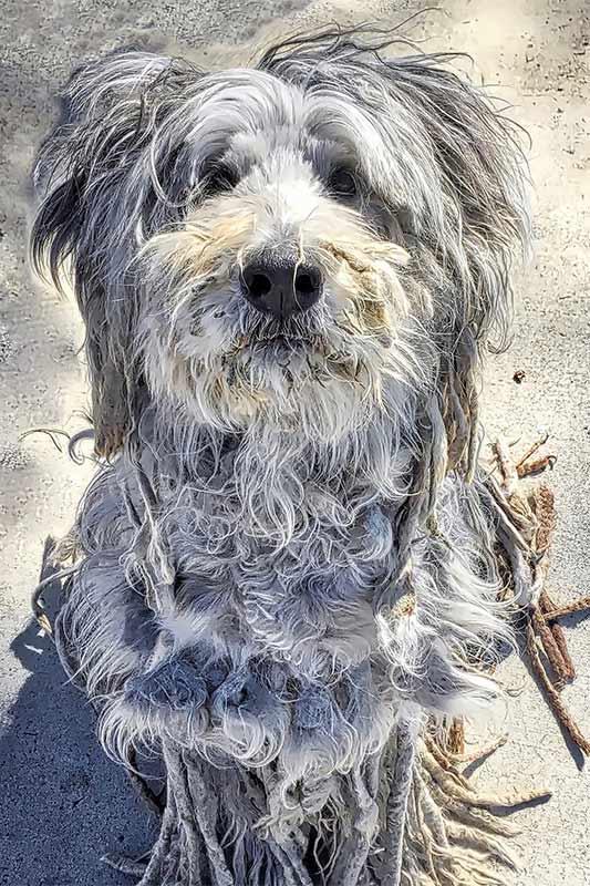 bergamasker-hirtenhund-welpen