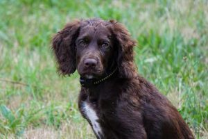 deutscher-wachtelhund-spaniel