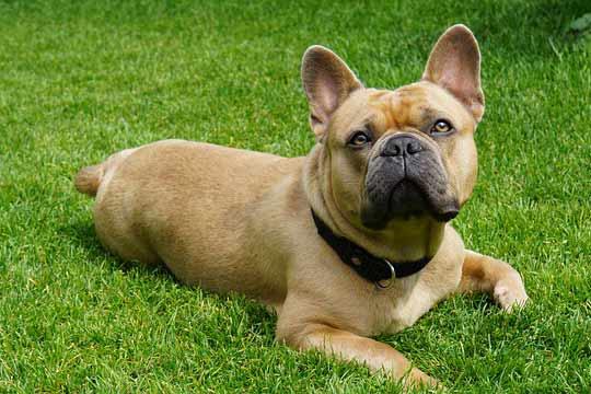 franzoesische-bulldogge-kaufen
