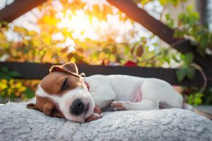 jack-russel-terrier-schlafen