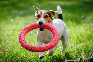 jack-russell-terrier-ring