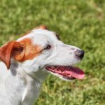 jack-russell-terrier-temperament