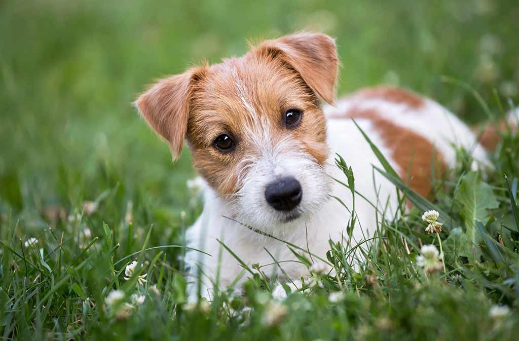 jack-russell-terrier-welpe-kaufen