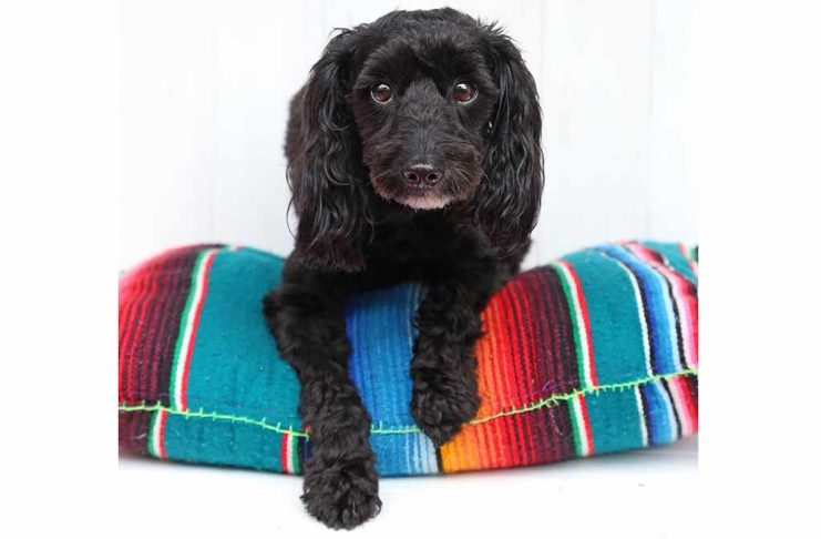 schnoodle-welpe