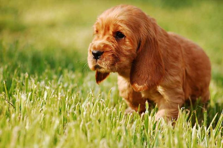 cocker-spaniel-english-welpen