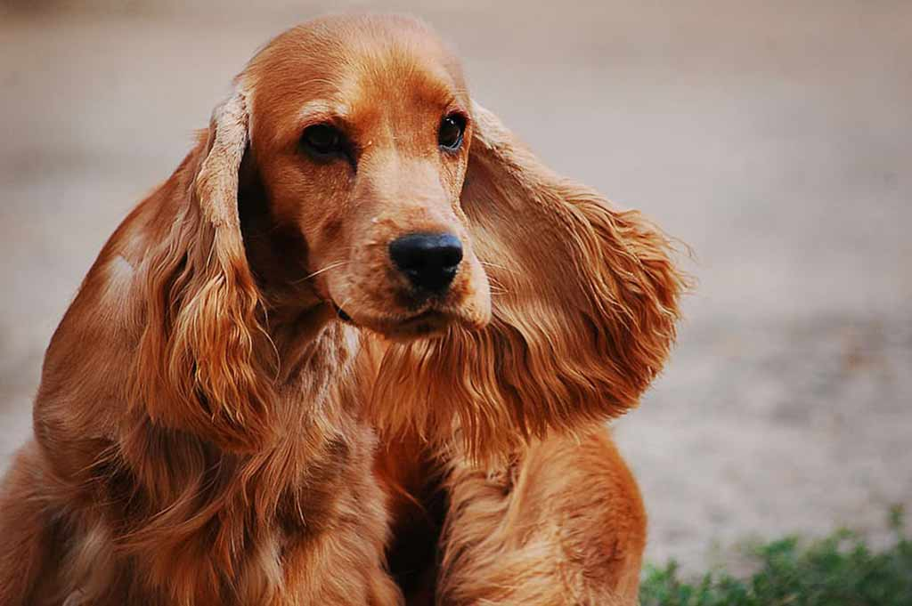 cocker-spaniel-english