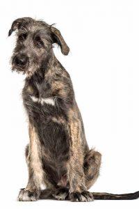 irischer-wolfshund-erwachsen
