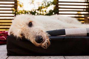 irischer-wolfshund-welpe