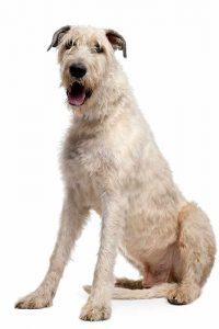 irischer-wolfshund-welpe-kaufen