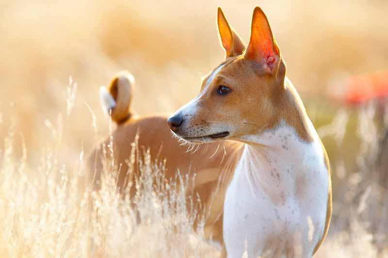 basenji-hund