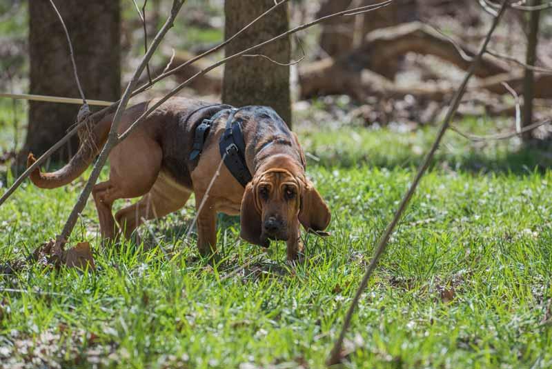 bloodhound-hund