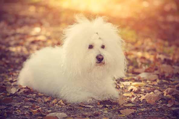 bolognese-hund