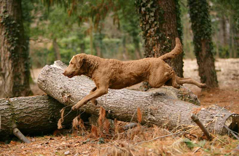 chesapeake-bay-retriever-hund
