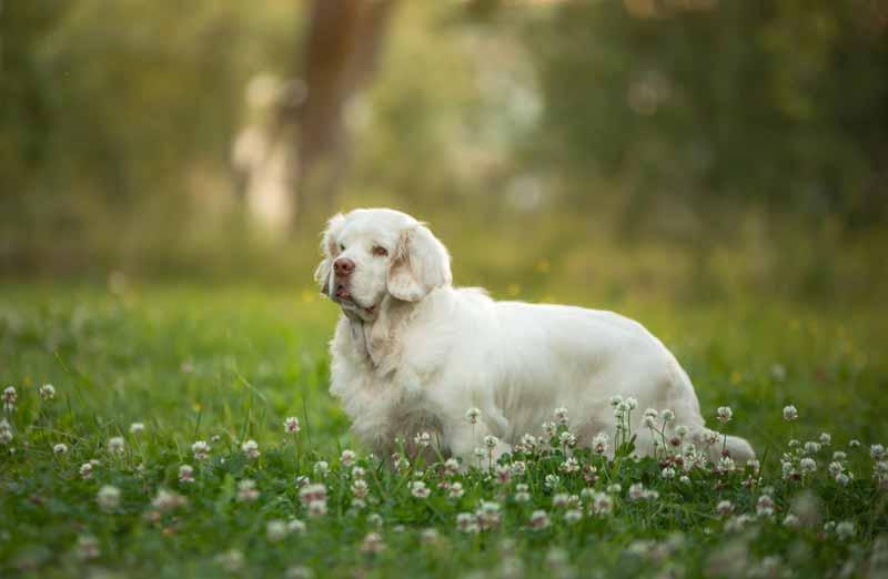 clumber-spaniel-hund