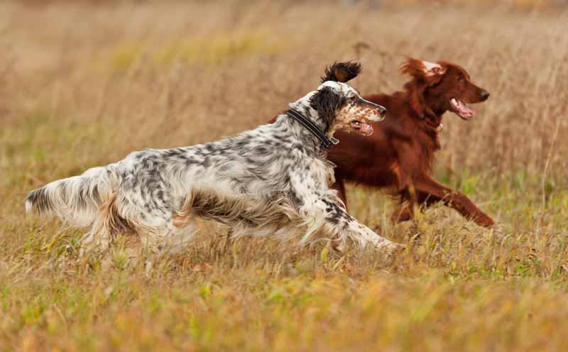 english-setter-hund