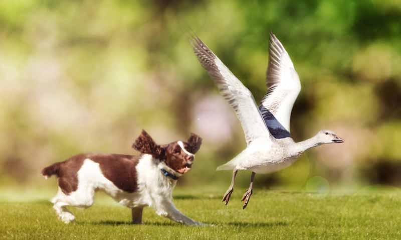 frield-spaniel-hund