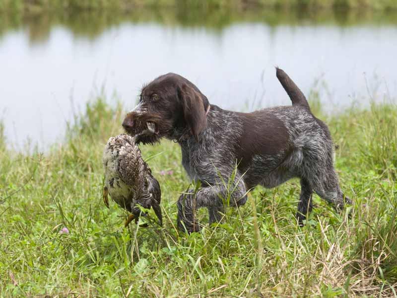 deutsch-drahthaar-hund