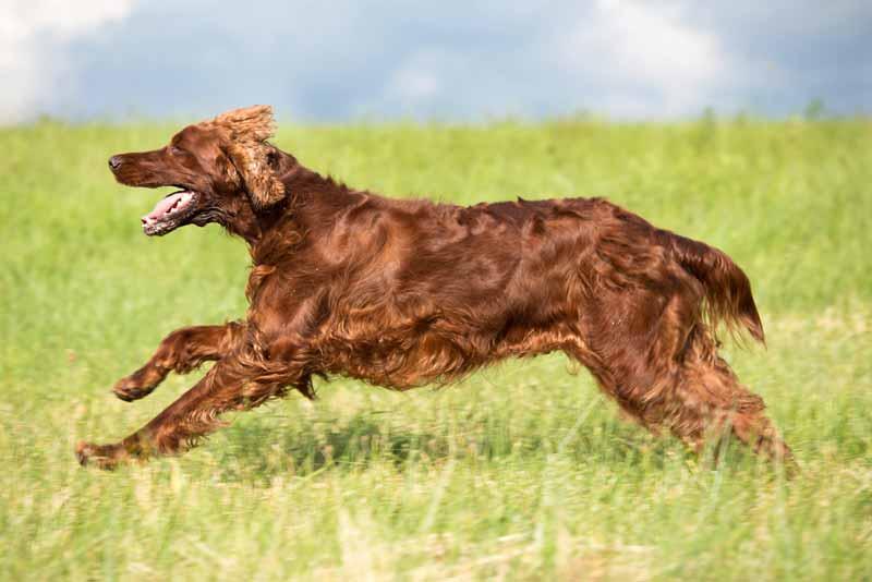 irish-setter-hund