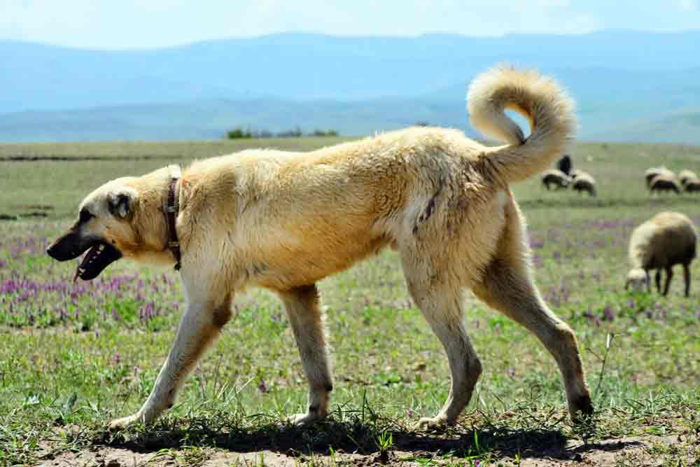 Kangal-hirtenhund-schafe2