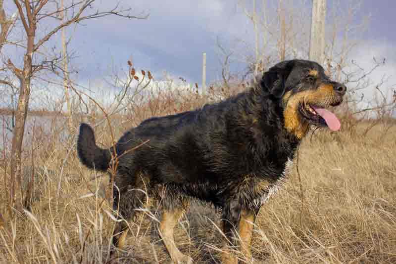 Labrador-Berner-Sennenhund-mix