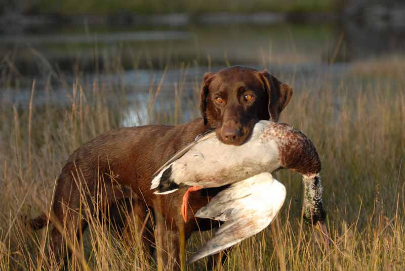 labrador-retriever-jagd