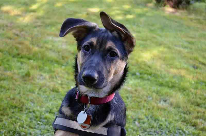 Labrador-schaeferhund-mix