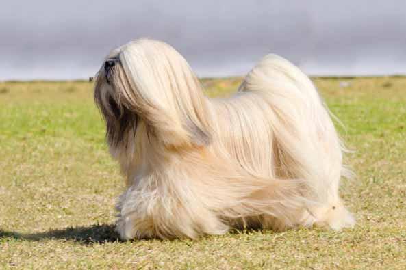 lhasa-apso-hund
